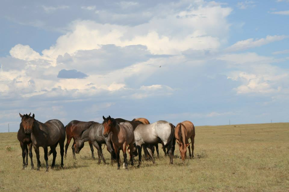 Freeman Ranch Horses. Specializing in Blue Valentine Studs. Colorado